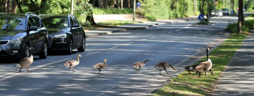 Paderborn …Enten an den Fischteichen überqueren die Straße